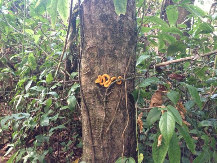 Look But Dont Touch The Eyelash Viper The Tico Times Costa