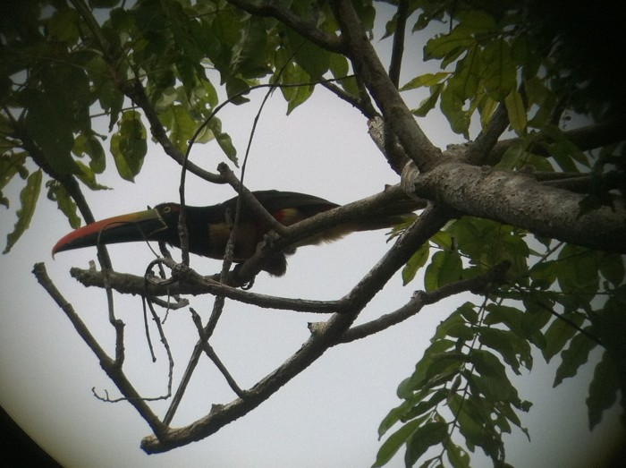A toucan in a tree.