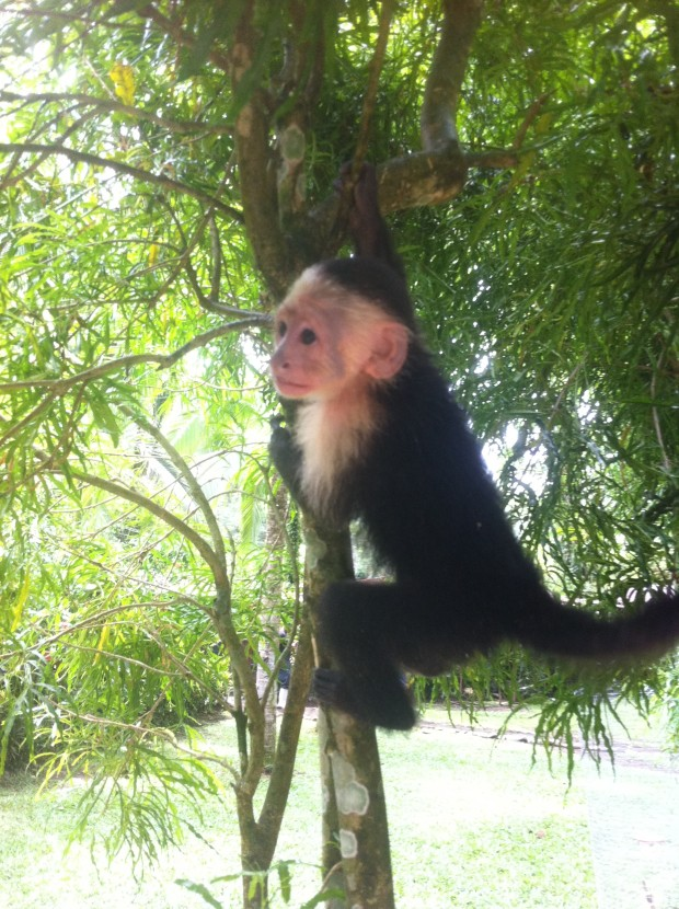 A baby capuchin monkey frolics in a tree.