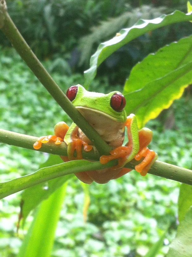 The logically named red-eyed tree frog poses for a picture over the frog pond.