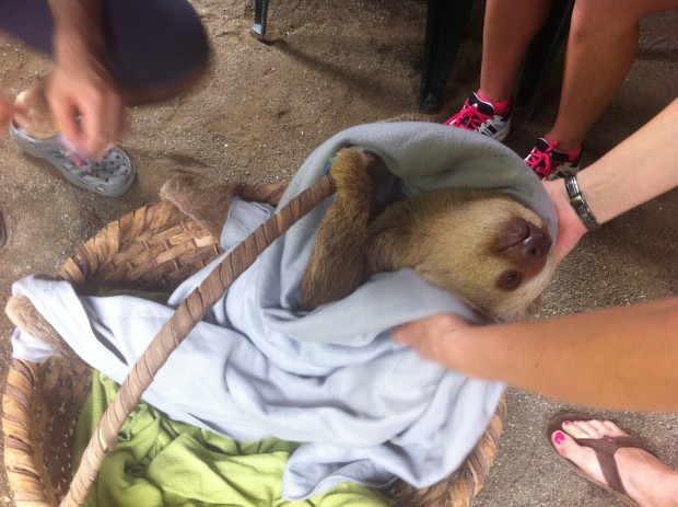 A two-toed sloth is prepped for transport to a spot in the wild where it will eventually be released.