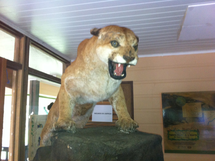 A stuffed puma in the museum at the ranger's station at Tapantí.