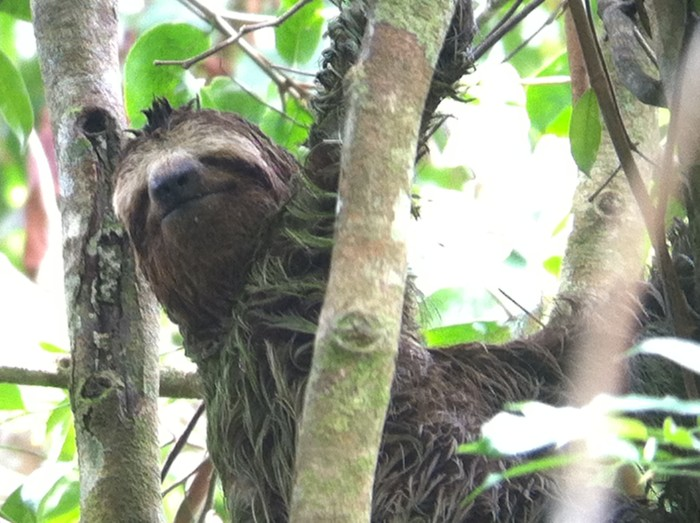 A three-toed sloth smiles for the camera.