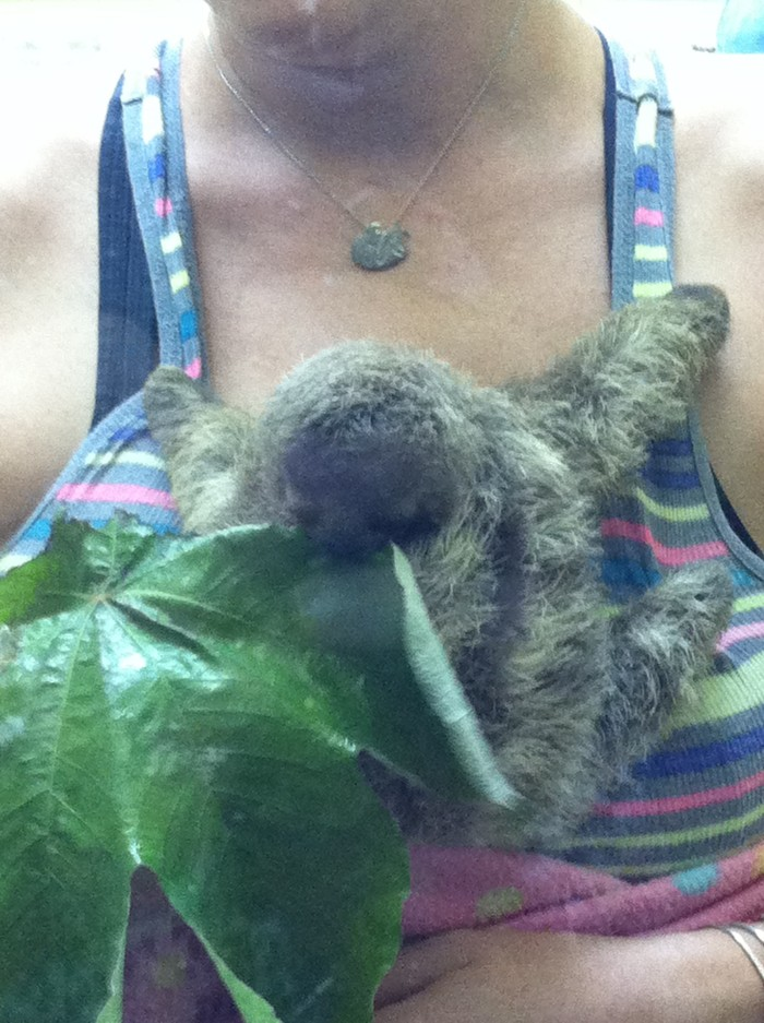 Baby three-toed sloth.