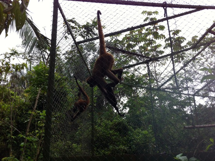 Spider monkeys.