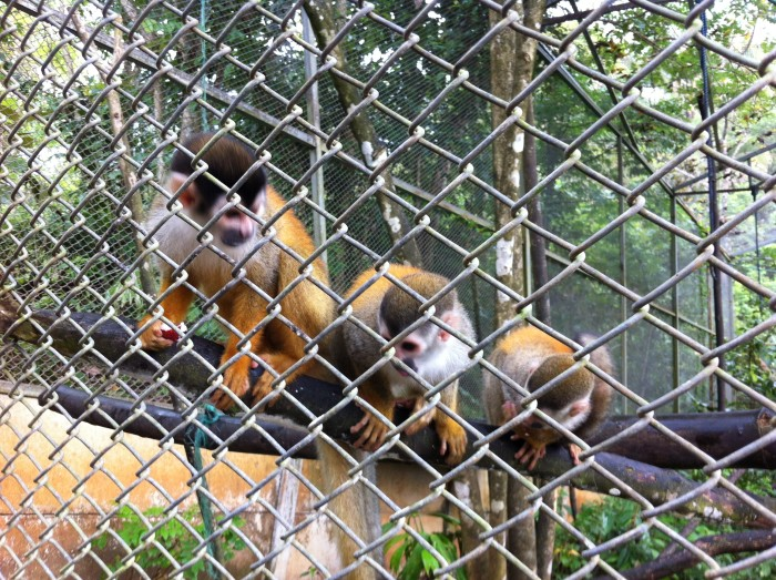 Endangered squirrel monkeys.