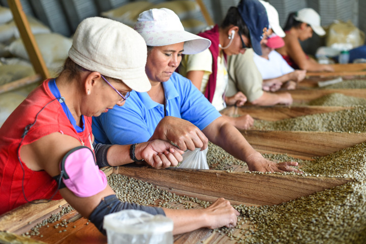 A group of women clean green coffee beans at the Herbazú coffee processing plant in Naranjo, Alajuela.