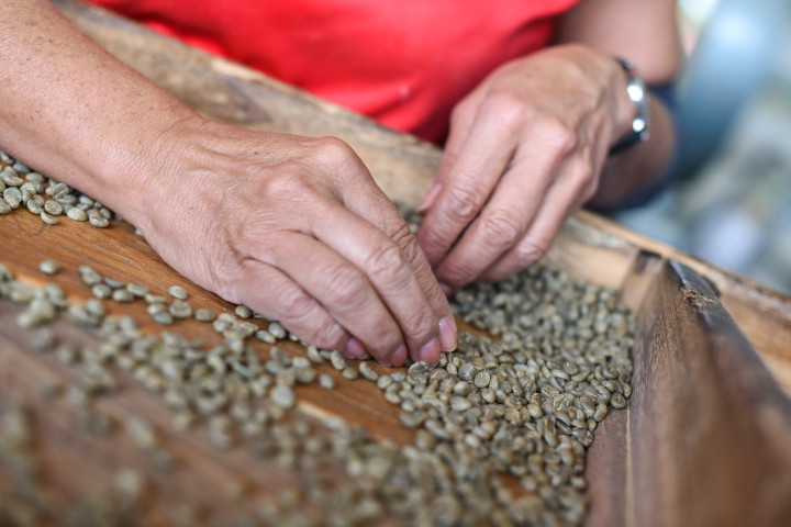 Selecting the best green coffee beans at the Herbazú coffee processing plant in Naranjo, Alajuela.