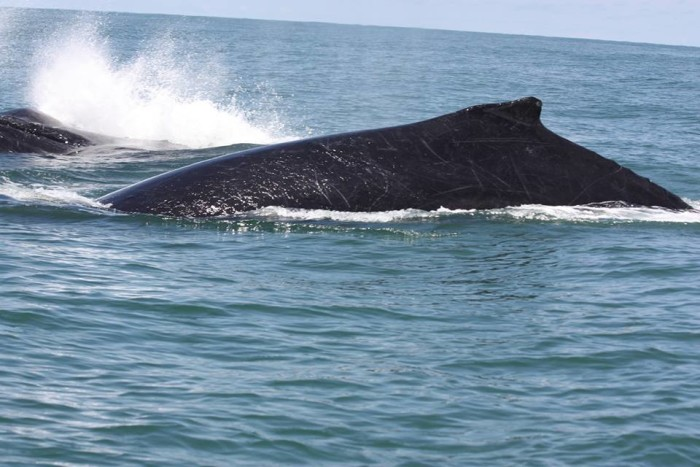 Humpback whales like this can routinely be spotted on the coast of Marino Ballena National Park from July to September.