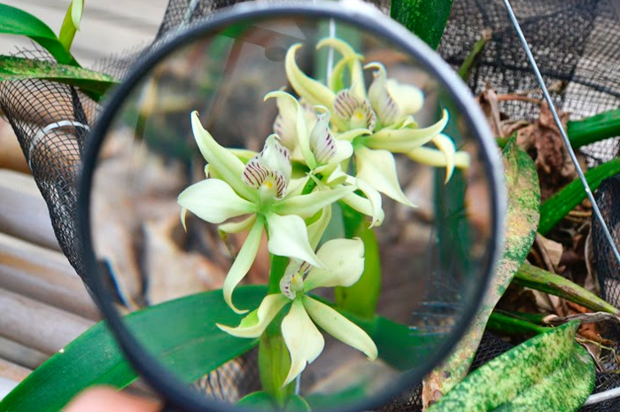 The orchid that vanilla comes from.
