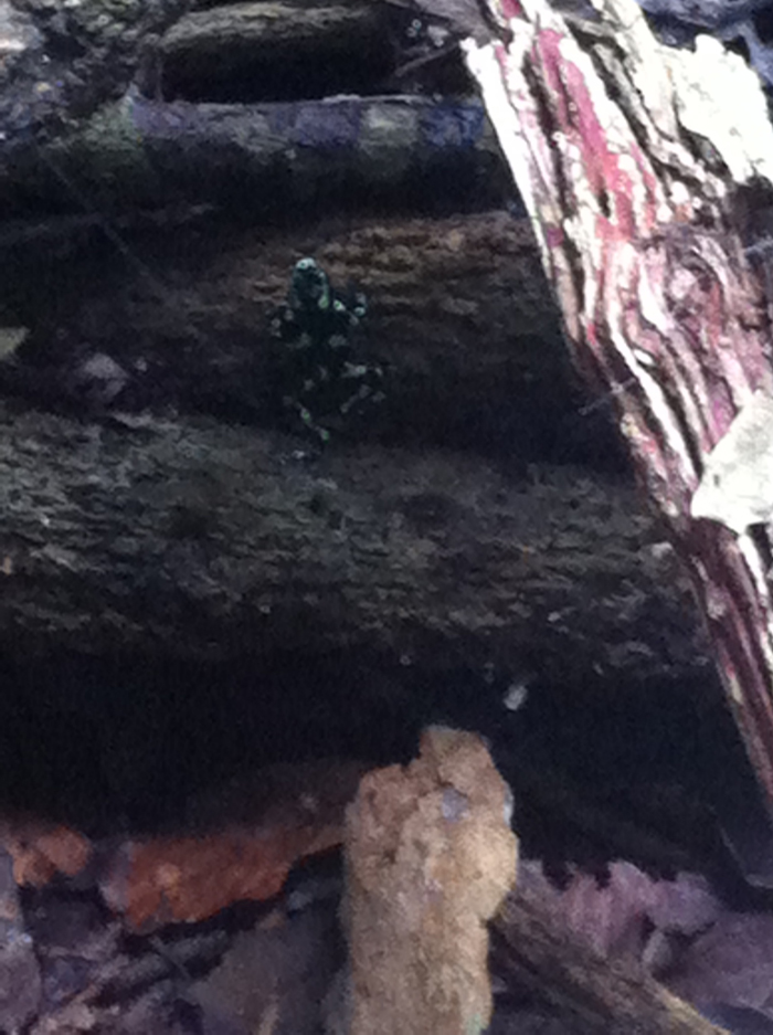 Green and black poison dart frog.