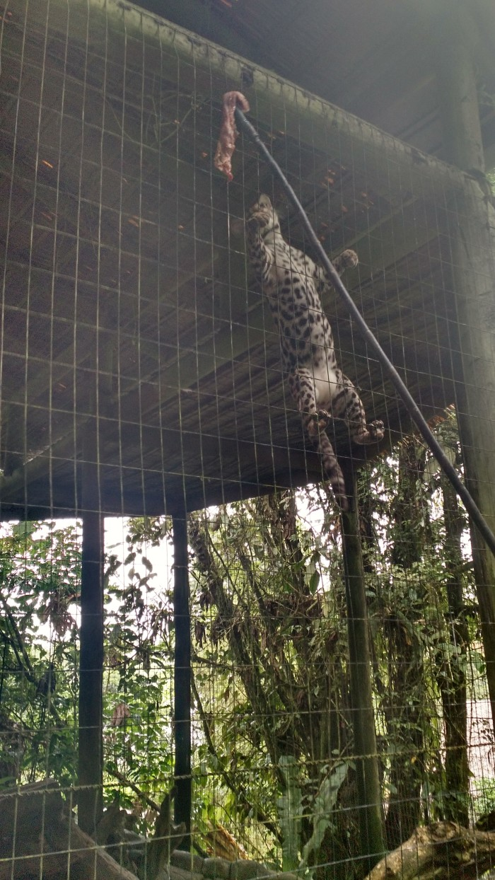 An ocelot climbs up its cage to get hold of its lunch.