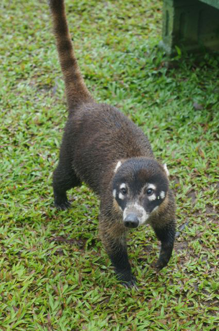 The coatimundi is a relative of the raccoon but a much more personable beggar.