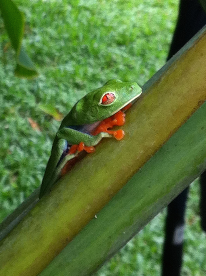 A red-eyed tree frog at Laguna Lodge in Tortuguero.