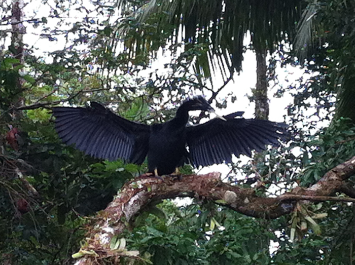 An anhiga, relative of the cormorant, dries its wings.