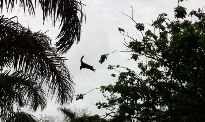 A capuchin monkey launches off a palm frond to jump across the Canal Palma.