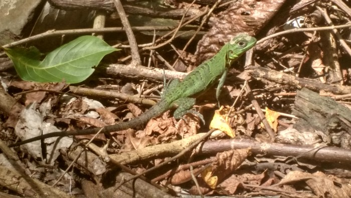 Reptiles like this baby iguana can be seen scurrying across the trails at Cabo Blanco Absolute Nature Reserve.