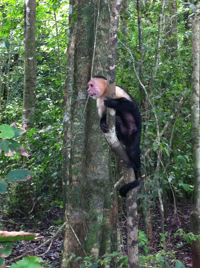 A capuchin monkey at Manuel Antonio.