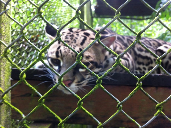 An ocelot at Osa Wildlife Sanctuary.