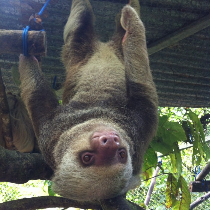 A two-toed sloth at Osa Wildlife Sanctuary.