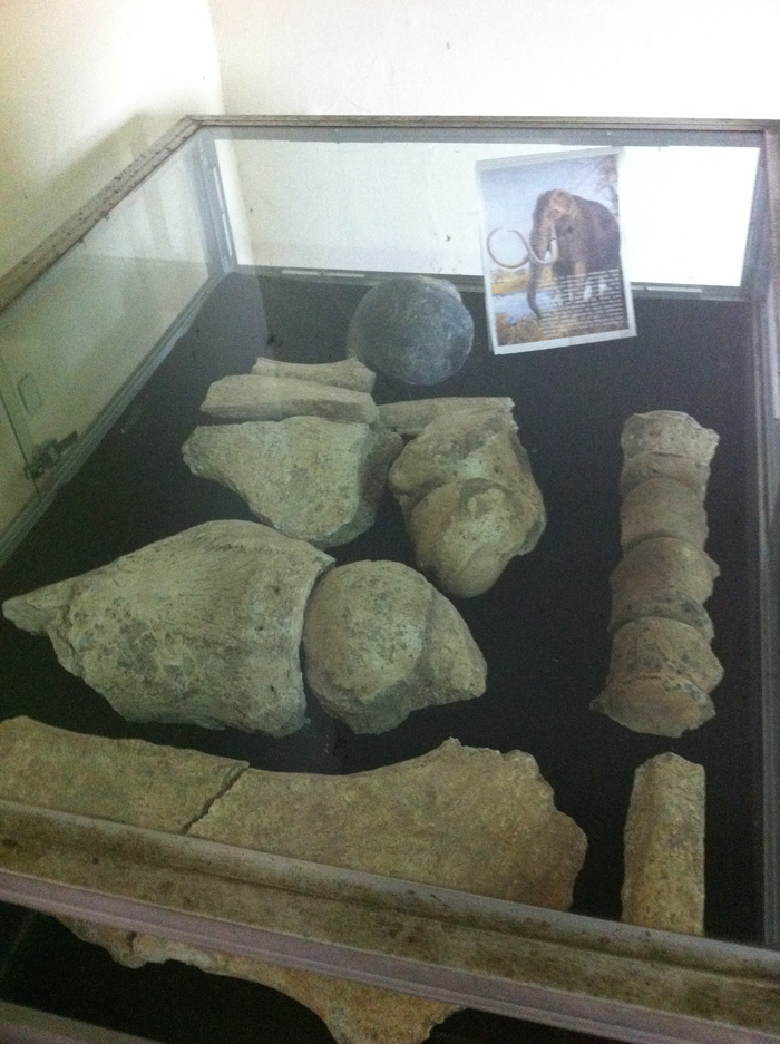 Mastodon bones found near Rivas on display in the museum.