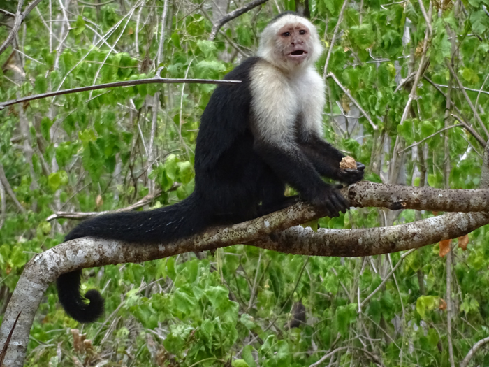 A capuchin monkey on the road to Santa Rosa National Park.