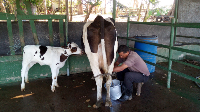 Because life is not fair: Calf is tied up out of reach while a man milks its mother.