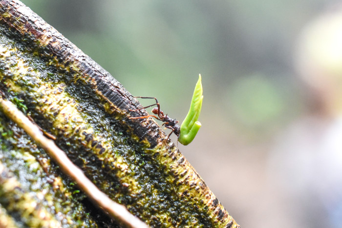 An ant carries a small piece of vegetation up a tree near Río Celeste.