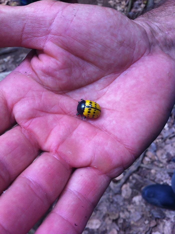 A yellow ladybug we though was dead, but she was just playing dead.