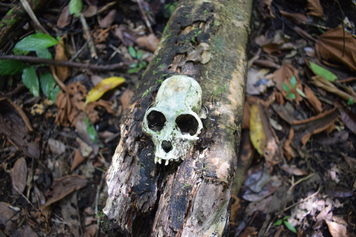 A skull on a log — monkey, I'm guessing.