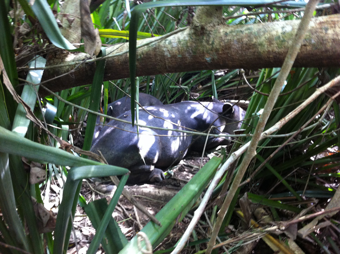 A female tapir with a baby behind her, both napping in the midday heat.