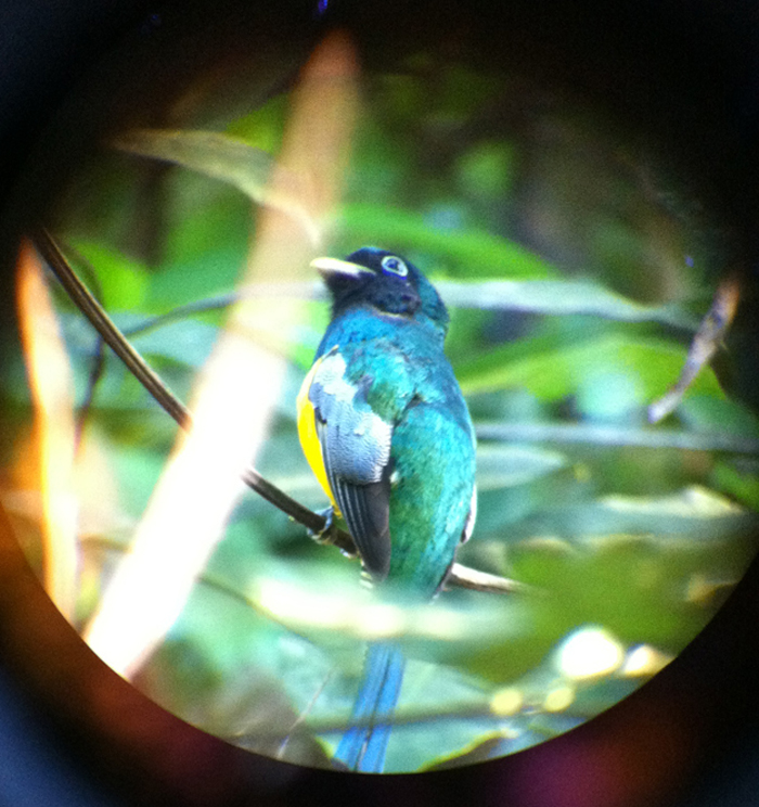 I think this is a black-throated or yellow-bellied trogon, although if I'm wrong I'm sure my birder friends will correct me.