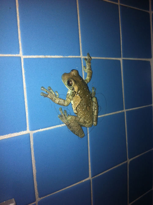 Scientific name: Costa Rican Shower Frog.