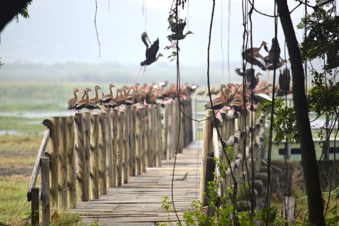 Whistling ducks at the pier.