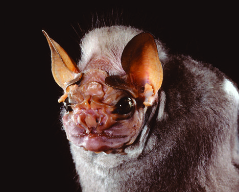 wrinkle-faced bat observed by carlosrchavarria on October 11, 2013 ...