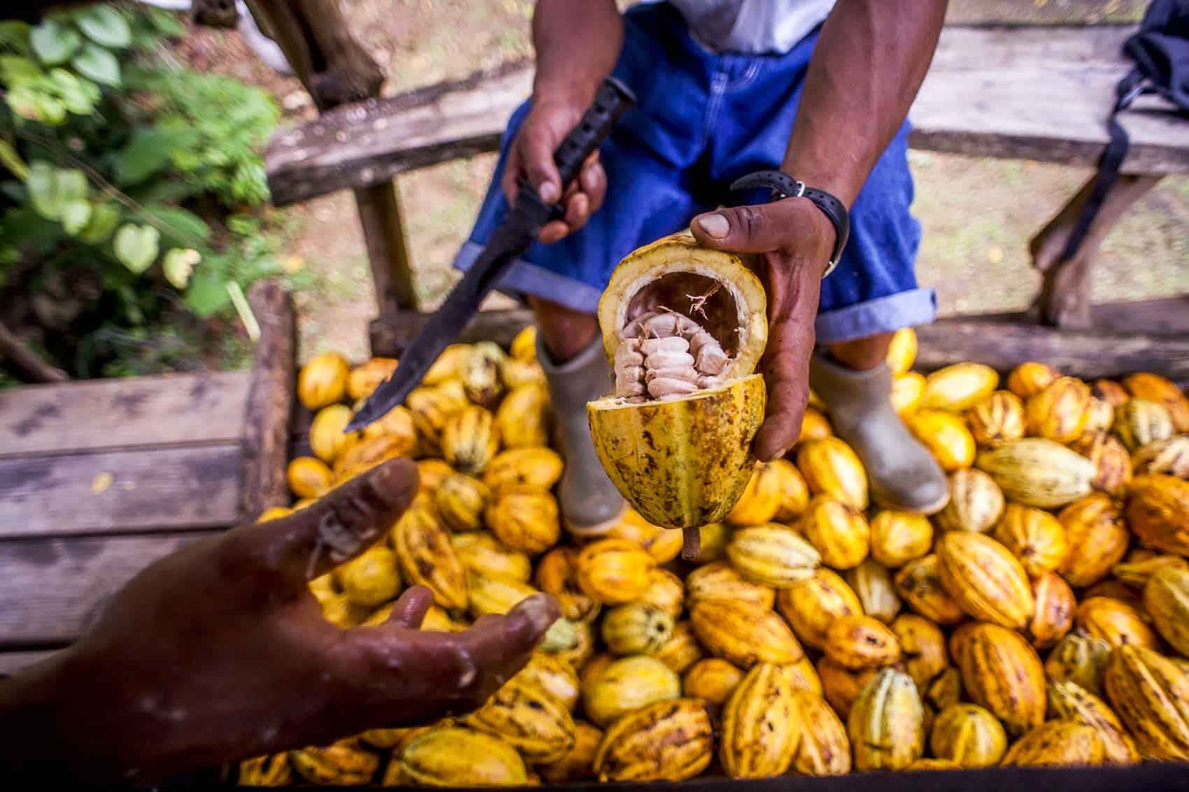 Tropical foods: Cacao pods
