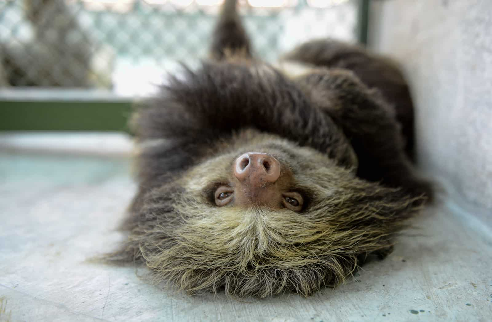 This gross discovery may make you rethink your obsession with sloths