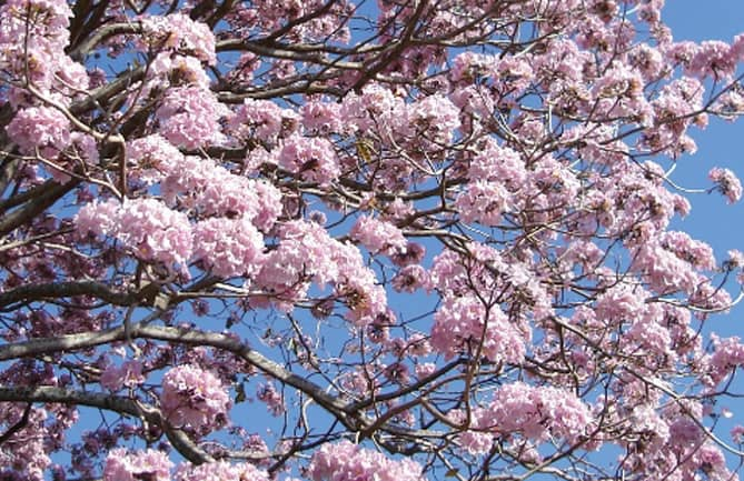 Trumpet Trees Again In Bloom The Tico Times Costa Rica News