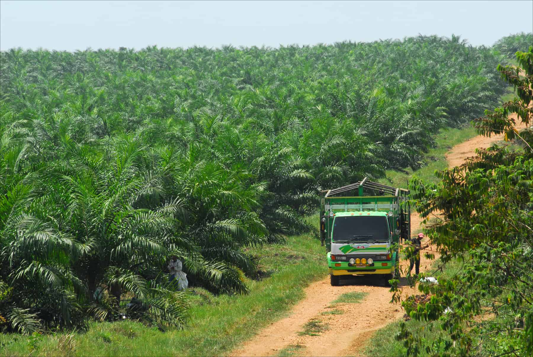 Guatemala palm oil production.
