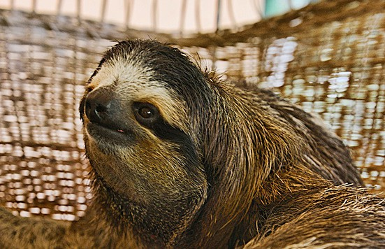 Buttercup the Bradypus sits in her chair at the Sloth Sanctuary in Cahuita, Limón.