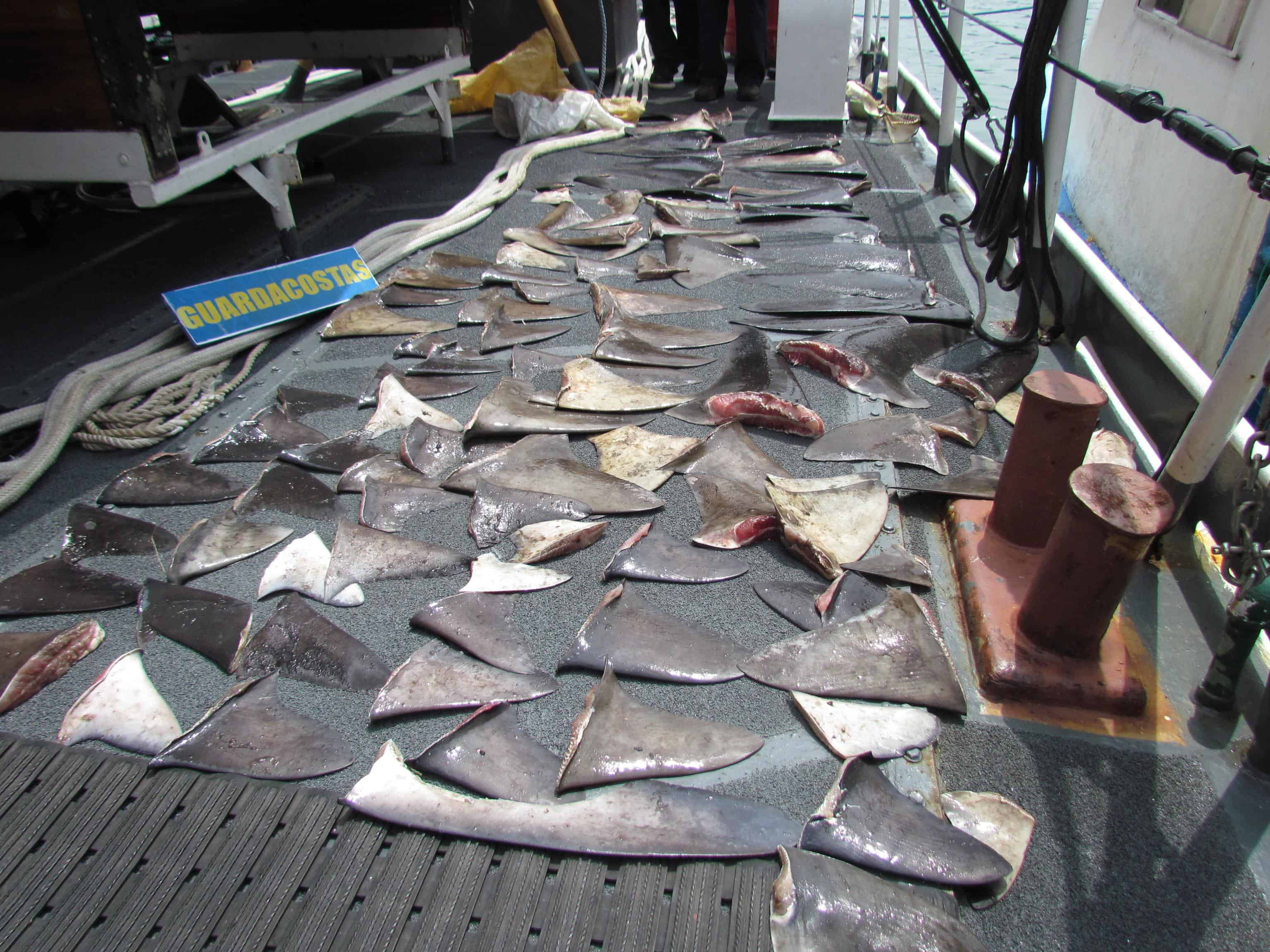 Shark fins seized off Costa Rica's Pacific coast.