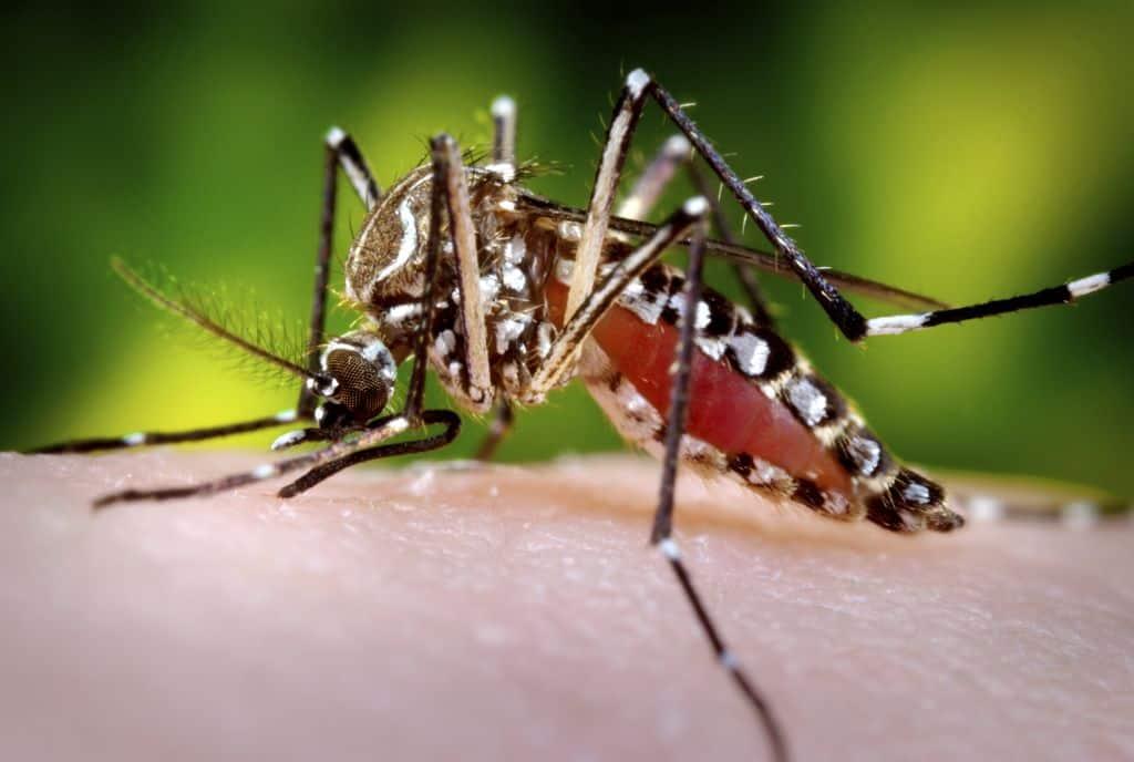 mosquito: dengue fever
