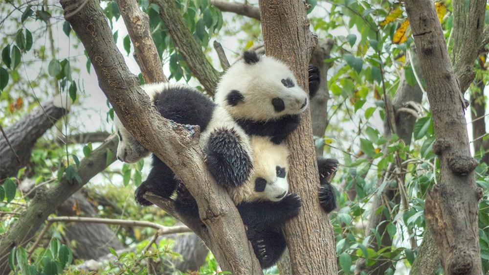 Panda cubs at a breeding center in Chengdu, China, April 6, 2014.