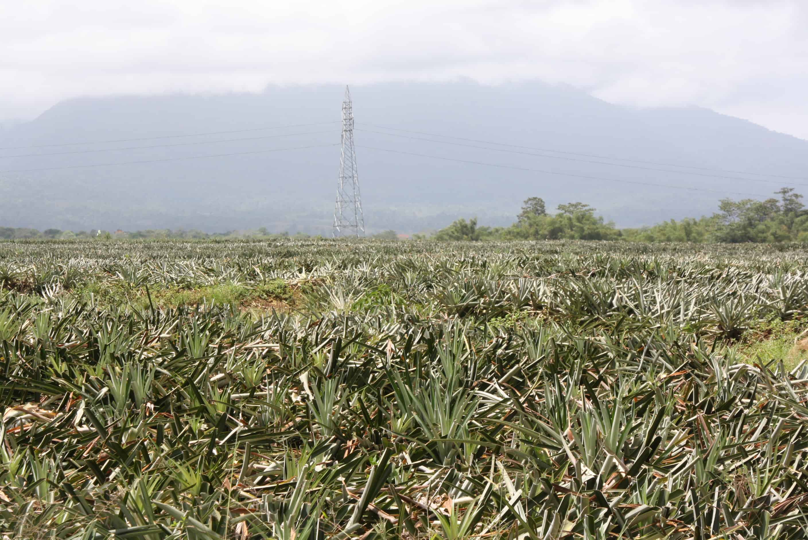 Pineapple plantations along Route 32.