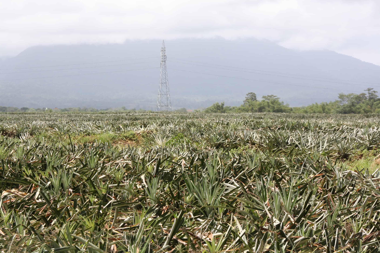 Pineapple plantations along Route 32.