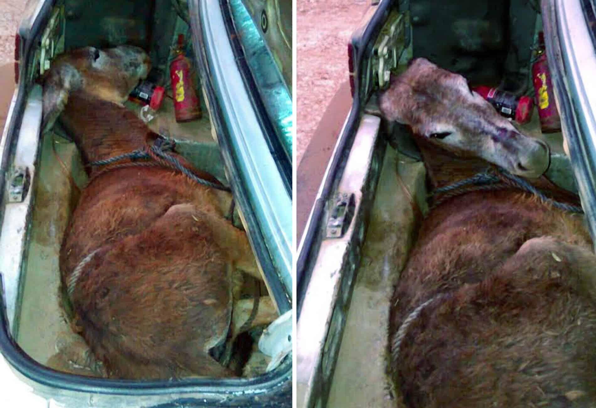 A mule in the trunk of a car.