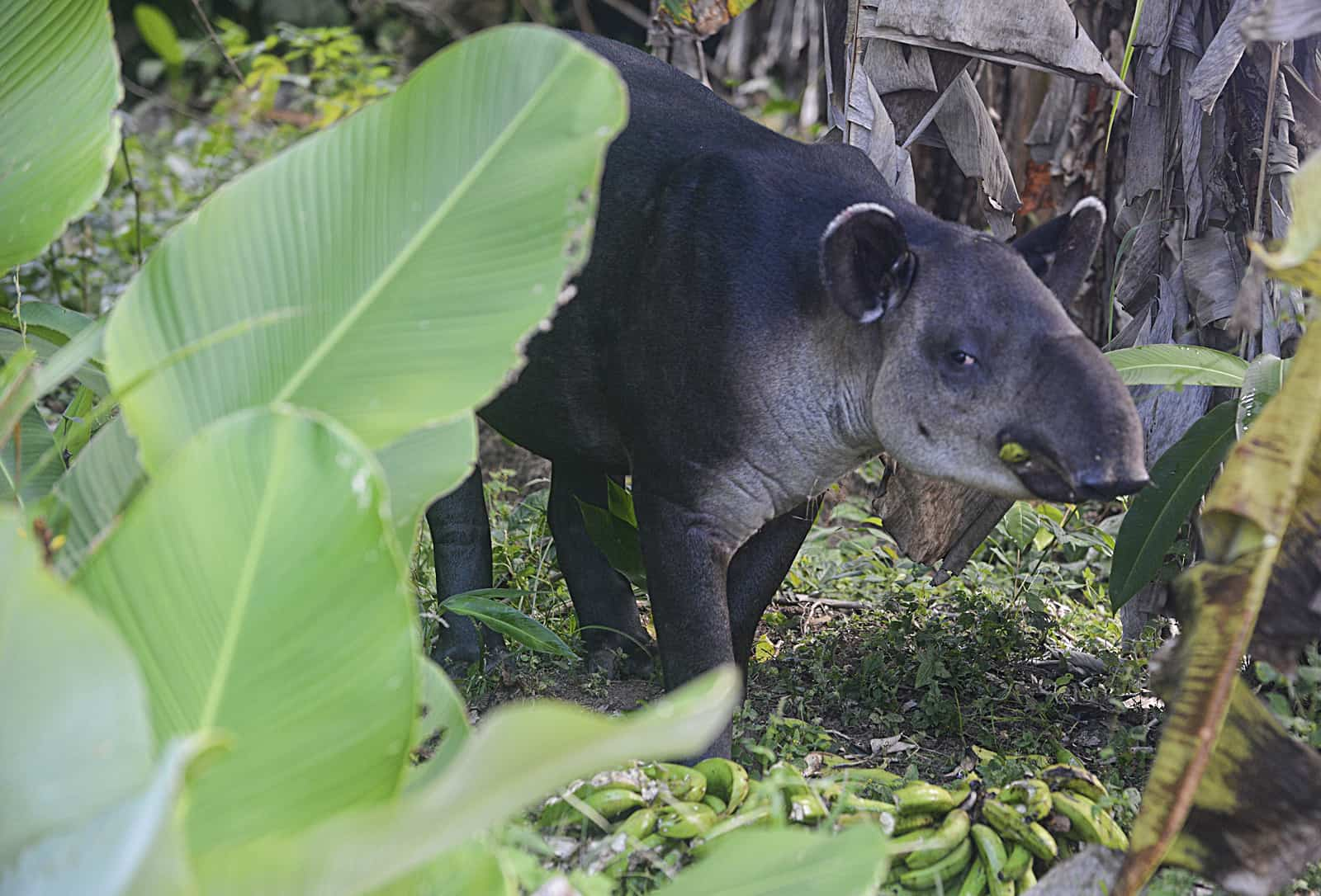 Baird's Tapirs (Tapirus bairdii) are endangered, but pockets can be found within Costa Rica's national parks.