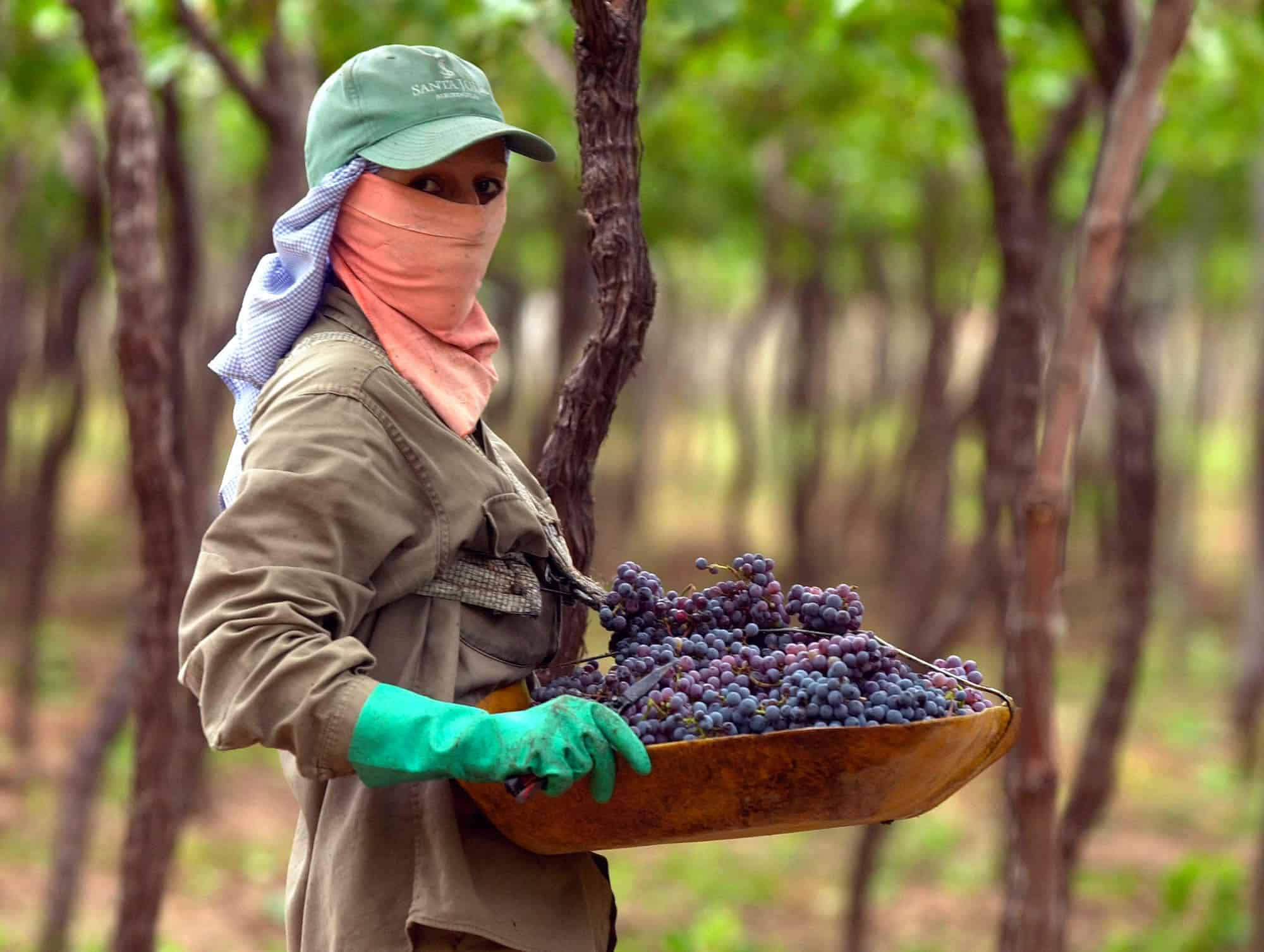 a worker harvests grapes in 2003 near the city of Mendoza, Argentina.