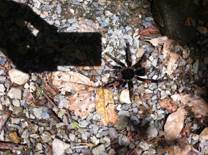 An orange-kneed tarantula at Tapantí National Park.
