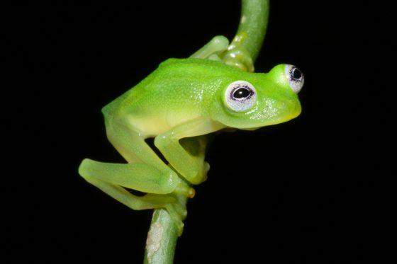 Hyalinobatrachium dianae was discovered in the Talamanca mountains of Costa Rica.